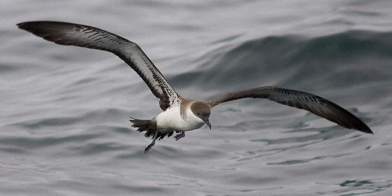 Great Shearwater; © Ben_Lascelles